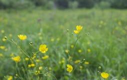 Fiore giallo del campo Fotografia Stock