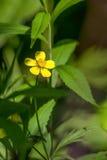 Fiore giallo del Cinquefoil (Potentilla) Fotografia Stock