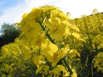 Fiore giallo del colza oleifero Fotografia Stock Libera da Diritti
