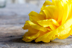 Fiore giallo del cotone di seta Fotografia Stock Libera da Diritti