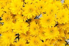 Fiore giallo del crisantemo Immagine Stock Libera da Diritti