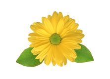 Fiore giallo del crisantemo Fotografia Stock Libera da Diritti