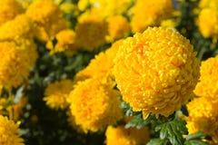 Fiore giallo del crisantemo Fotografie Stock Libere da Diritti