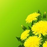 Fiore giallo del dente di leone Fotografie Stock
