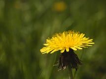 Fiore giallo del dente di leone Immagine Stock Libera da Diritti