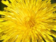 Fiore giallo del dente di leone Immagine Stock