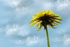 Fiore giallo del dente di leone contro il cielo blu Priorità bassa della sorgente Per il disegno Vista laterale Fotografia Stock Libera da Diritti