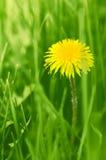 Fiore giallo del dente di leone in mezzo a verde Fotografie Stock Libere da Diritti