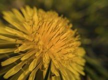 Fiore giallo del dente di leone nella regolazione naturale fotografie stock