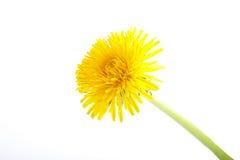 Fiore giallo del dente di leone su bianco Taraxacum officinale Immagine Stock Libera da Diritti