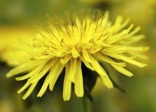 Fiore giallo del dente di leone su un fondo giallo verde vago del bokeh closeup Per il disegno Vista laterale Priorità bassa dell Immagine Stock Libera da Diritti