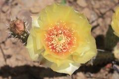 Fiore giallo del fico d'india Fotografia Stock Libera da Diritti