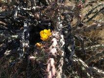 Fiore giallo del fico d'india Immagini Stock