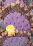 Fiore giallo del fico d'India sotto le foglie porpora coperte di spine del cactus immagini stock