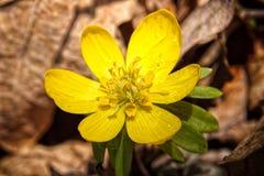 Fiore giallo del fiore con le gocce di acqua sopra il fogliame marrone Fotografie Stock