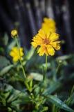 Fiore giallo del garofano Fotografia Stock