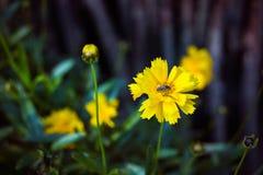 Fiore giallo del garofano con l'ape Fotografie Stock