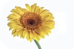 Fiore giallo del gerber isolato su bianco Fotografie Stock