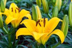 Fiore giallo del giglio Fotografie Stock