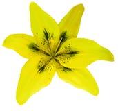 Fiore giallo del giglio isolato con il percorso di ritaglio, su un fondo bianco bello giglio per progettazione closeup Fotografia Stock