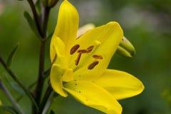 Fiore giallo del giglio Primo piano Fotografia Stock Libera da Diritti