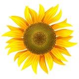 Fiore giallo del girasole royalty illustrazione gratis
