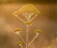 Fiore giallo del millefoglio in natura Fotografie Stock Libere da Diritti