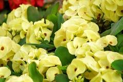 Fiore giallo del milli Desmoul dell'euforbia Fotografie Stock