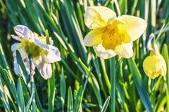 Fiore giallo del narciso Fotografie Stock