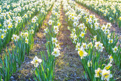 Fiore giallo del narciso Fotografia Stock