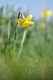 Fiore giallo del narciso della molla Fotografia Stock Libera da Diritti
