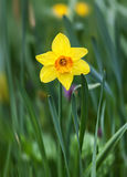 Fiore giallo del narciso nell'erba verde Immagine Stock