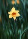 Fiore giallo del narciso nell'erba verde Fotografie Stock