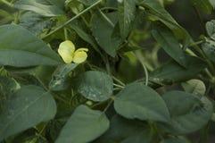 Fiore giallo del phaseolus vulgaris Fotografie Stock
