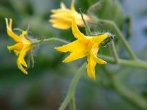 fiore giallo del pomodoro Immagini Stock