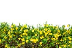 Fiore giallo del prato Fotografia Stock Libera da Diritti