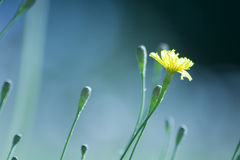 Fiore giallo del prato fotografia stock