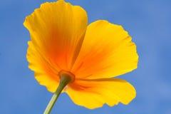 Fiore giallo del prato su un cielo blu Immagine Stock