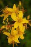 Fiore giallo del primo piano del mosto di malto del ` s di St John Fotografia Stock