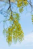 Fiore giallo del primo piano dell'albero di tubo di budino con il cielo luminoso Immagine Stock Libera da Diritti