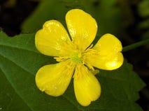 Fiore giallo del ranuncolo Fotografia Stock