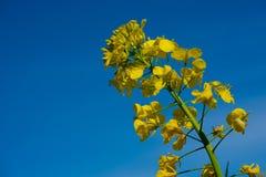 Fiore giallo del seme di ravizzone prima di un cielo blu fotografie stock libere da diritti