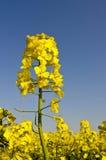 Fiore giallo del seme di ravizzone sulla priorità bassa del cielo blu Fotografie Stock Libere da Diritti