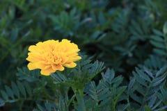 Fiore giallo del tagete Fotografia Stock