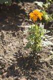 Fiore giallo del tagete Immagini Stock