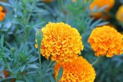 Fiore giallo del tagete Fotografie Stock Libere da Diritti