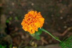 Fiore giallo del tagete che fiorisce nel giardino fotografie stock libere da diritti