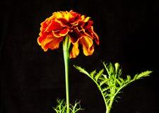 Fiore giallo del tagete su un fondo nero Immagini Stock Libere da Diritti