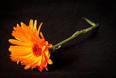 Fiore giallo del tagete su un fondo nero Fotografia Stock