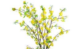 Fiore giallo dell'albicocca Fotografie Stock